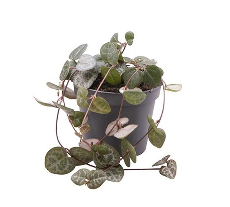 Mini ceropegia woodii d06 x12 chaine de coeurs v g tal for Chaine de coeur plante entretien