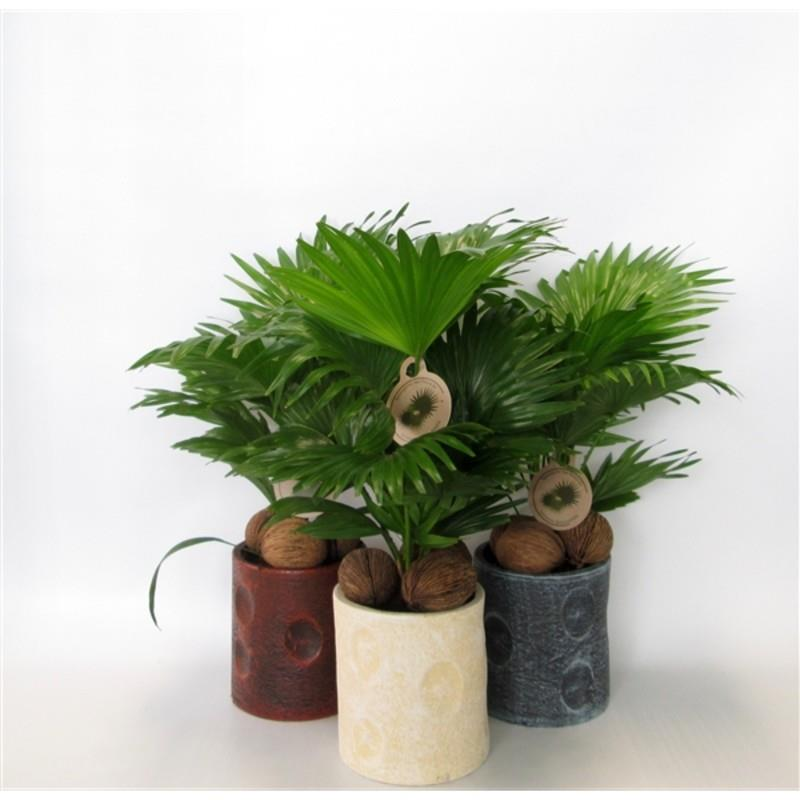 Livistona rotundifolia d22d p pot deco cocos palmier for Grossiste decoration interieur