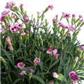DIANTHUS caryophyllus D23 Pink Kiss