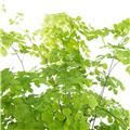 ADIANTUM cuneatum D13 x6 Capillaire simple