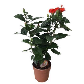 HIBISCUS rosa sinensis  D17 x6 Rose de Chine