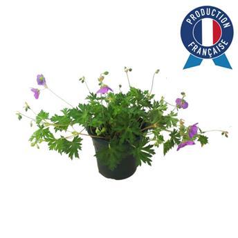 GERANIUM sanguineum C03 Geranium Vivace
