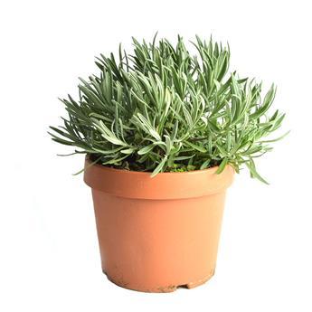 LAVANDULA angustifolia D18 Lavande VRAIE