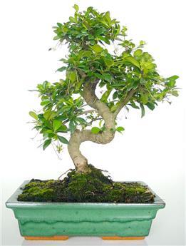 BONSAI CARMONA microphylla 10ANS Arbuste PEU RUSTIQUE