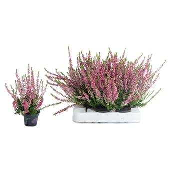 MINI CALLUNA vulgaris D06 x12 MIX Garden Girls Callune
