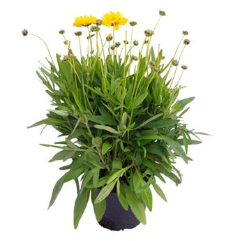 COREOPSIS grandiflora D15 X6 Sunray