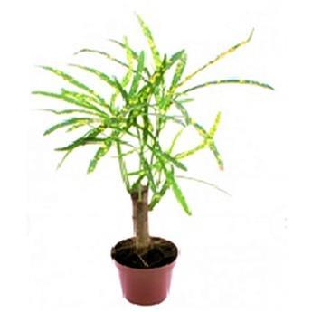 MINI CODIAEUM variegatum D06 x12 Pictum