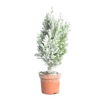 NOEL17 ELLWOODII FLOCKE D09 x12 M1-A Conifere