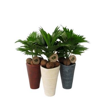 LIVISTONIA rotundifolia D16C P X3 NR11S + coco