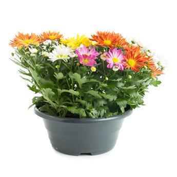 CHRYSANTHEMUM ind MULTI D23  P COUPE CARNAVAL 7PPP