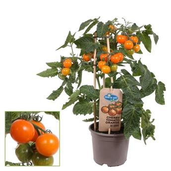 LYCOPERSICON esculentum D14 P X4 Tomate Cherry Red Pick