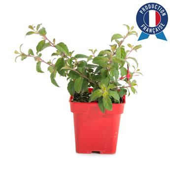 FUCHSIA magellanica C075 x10 Riccartonii Fuchsia de