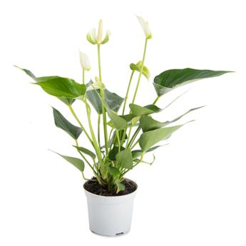 ANTHURIUM andreanum D09 P x12 White Champion