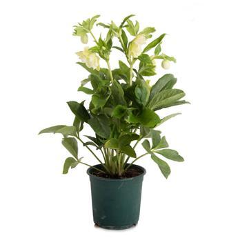 HELLEBORUS orientalis D14 x6 Pretty Ellen Rose de Noel