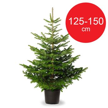 PICEA abies EPICEA CULTURE POT 125-150 D30-40
