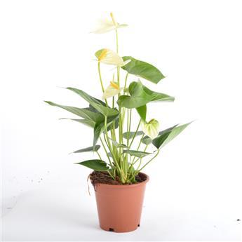 ANTHURIUM andreanum D12  P X6 Vanilla Basic