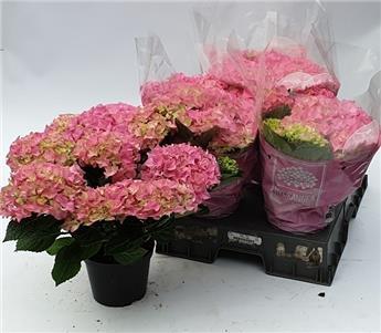 HYDRANGEA macrophylla D14 X5 Early Rosa