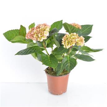HYDRANGEA macrophylla D13 x6 3-5BR Hortensia