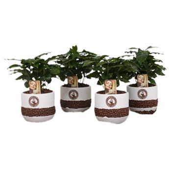 COFFEA arabica D12 P X8 Cafeier Beker