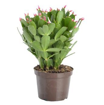 RHIPSALIDOPSIS gaertneri D12 x8 Cactus de Paque