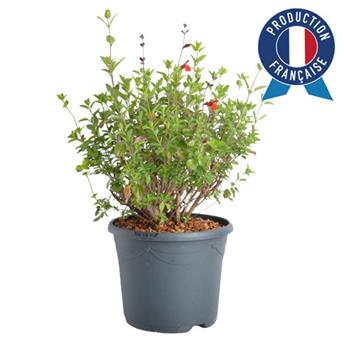 SALVIA microphylla C05 Royal Bumble