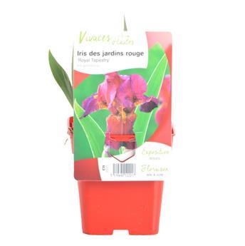 IRIS germanica C075 Royal tapestry Iris de jardin