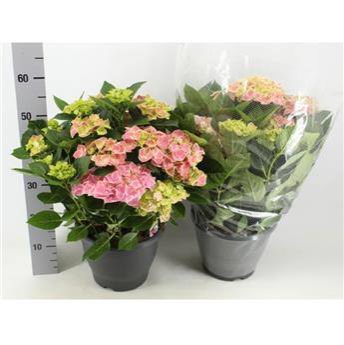 HYDRANGEA macrophylla D26 Tivoli ROSE