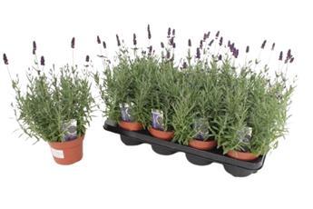 LAVANDULA angustifolia D13 x8 Hidcote 30CM Lavande