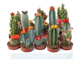 MINI PLANTE CACTEE D05.5 X20 Fleur artificieles 7-15