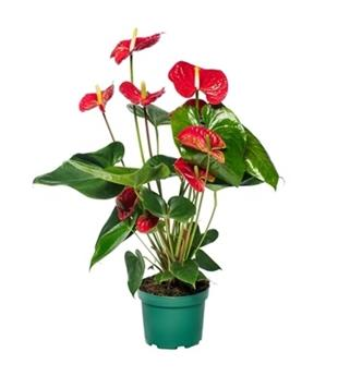 ANTHURIUM andreanum D17 P Nevada Rouge 60CM