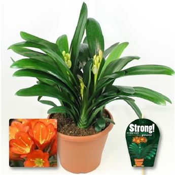 CLIVIA miniata D26 Strong ORANGE