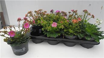 LEWISIA cotyledon D13 x8 succulente a fleurs