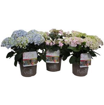 HYDRANGEA macrophylla D23 P Bleu-Blanc 30+