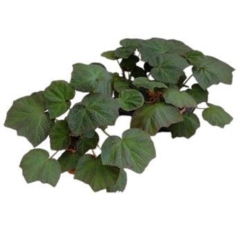 BEGONIA hybride D16 P X2 Boomer
