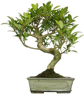 BONSAI FICUS retusa 08ANS