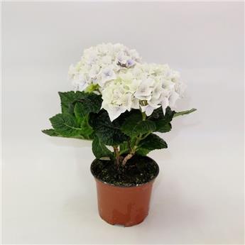 HYDRANGEA macrophylla D10 x8 2-3BR Hortensia