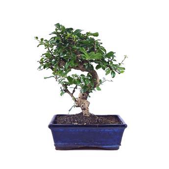 BONSAI CARMONA microphylla 08ANS Arbuste PEU RUSTIQUE