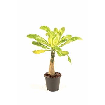 BRIGHAMIA insignis D12 P x6 Palmier hawaien