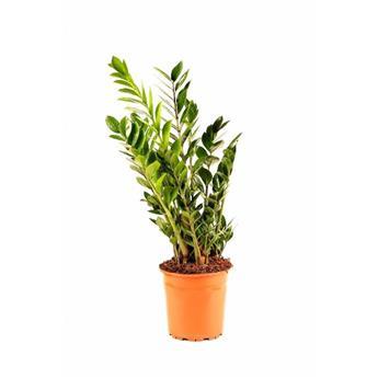 ZAMIOCULCAS zamiifolia D24 95-120 cm