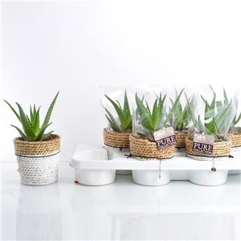 ALOE arborescens D12 P X6 PURE BASKET