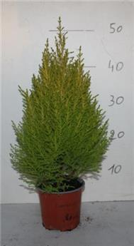 CUPRESSUS macrocarpa D13 x7 Goldcrest Wilma 45-50CM