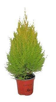 CUPRESSUS macrocarpa D13 x8 Goldcrest Wilma