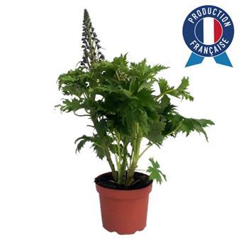 DELPHINIUM grandiflora D19 Delfinix