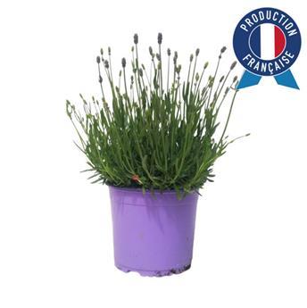 LAVANDULA angustifolia D19 Lavande vraie