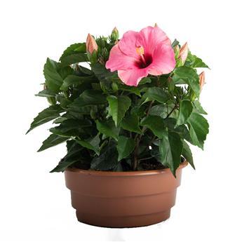 HIBISCUS rosa sinensis D27 COUPE Rose de Chine 40CM