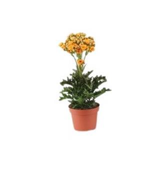 KALANCHOE hybride D12 P X6 Exotic Orange