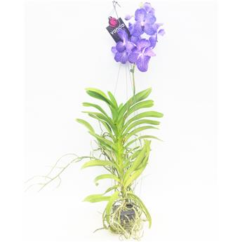 VANDA hybride SUSPENSION    P x6 BLEU 60CM