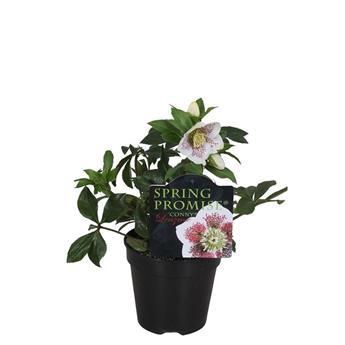 HELLEBORUS orientalis D12 x10 Pretty Ellen Rose de Noel