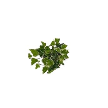 HEDERA helix D09 P x18 White Wonder