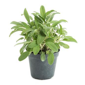 SALVIA officinalis D14 x8  Sauge POUR PLANTATION